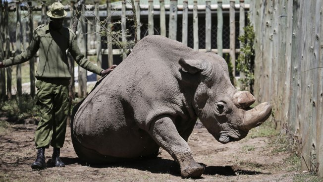 Scientists Create Hybrids in Race to Save Rhino Sub-Species