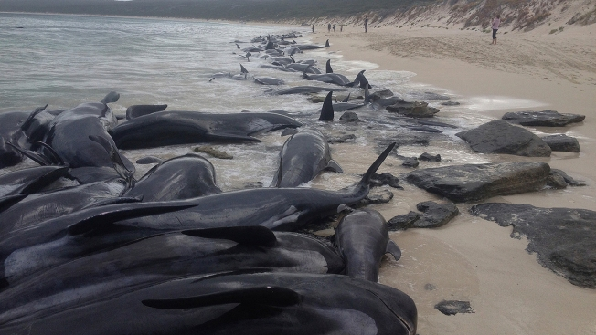 Nearly 150 Beached Whales Die After Becoming Stranded in Australian Bay