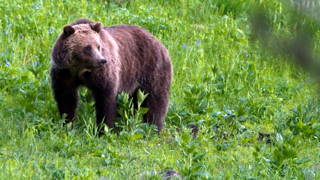 GOP Seeks Changes to Species Law After Grizzly Hunts Halted