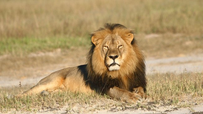 U.S. Philanthropists to Offer Backing for Oxford Lion Project After Killing of Cecil