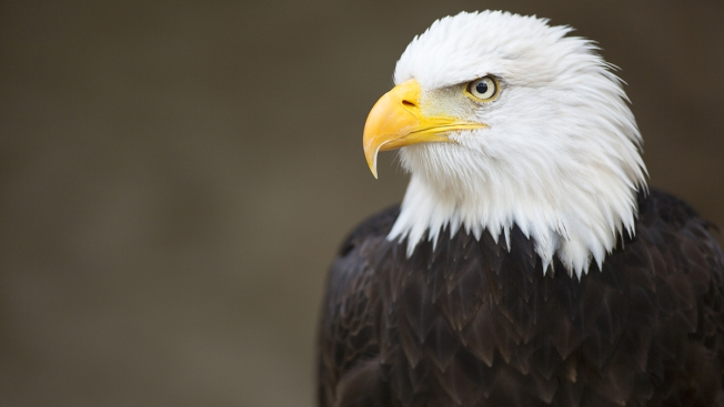 15 bald eagles spotted in inland empire mountains nbc 7 san diego