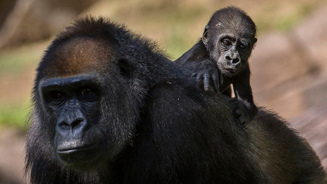 Baby Gorilla Hitches Ride on Mom