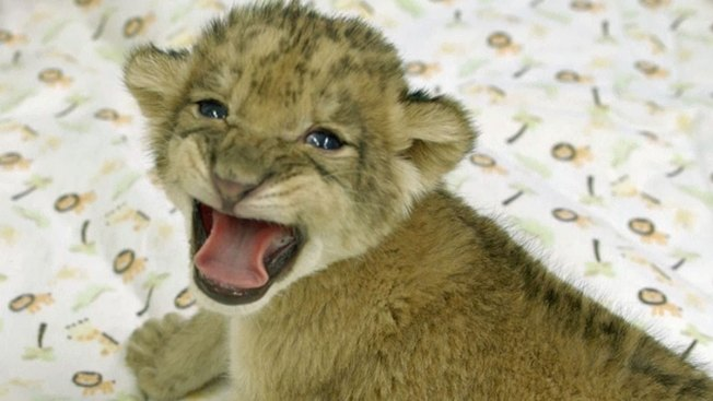 Public Can See Safari Park's Newest Lion Cubs