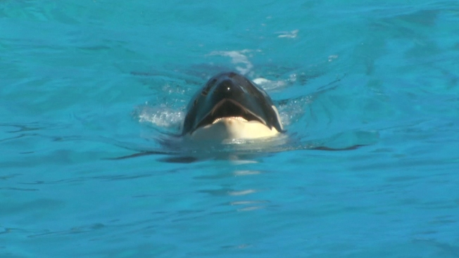 Baby Shamu Celebrates 1st Birthday at SeaWorld San Diego