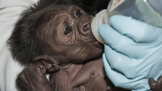 San Diego's Baby Gorilla Takes First Bottle