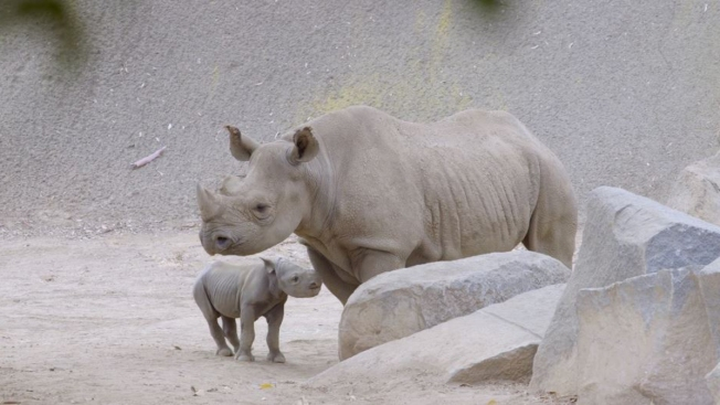 Black Rhino Born at San Diego Zoo