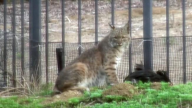 Bobcat Eats Pet Rabbits in Backyard Attack