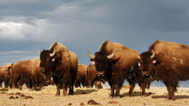 Obama Signs Legislation Making Bison National Mammal