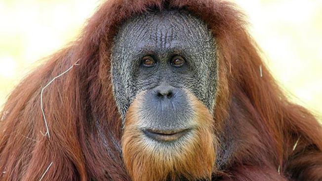 Oldest Orangutan at Miami Zoo Dies After Emergency Procedure