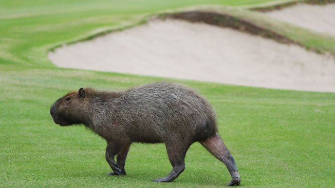 Forget Sand Traps, Olympic Golfers Need to Watch Out for Large Rodents