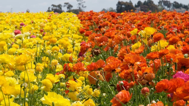 Carlsbad Flower Fields Open for Spring 2016