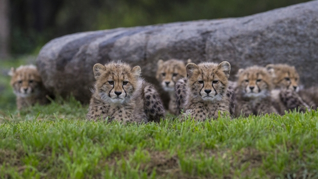 Cheetah Cubs Now on Exhibit at Safari Park