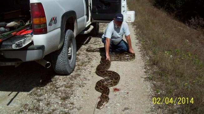 18-Foot-Long Python Found in Florida Everglades