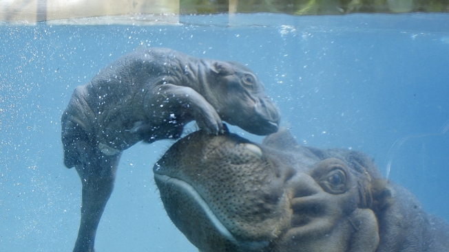 New Baby Hippo Born At San Diego Zoo Nbc 7 San Diego