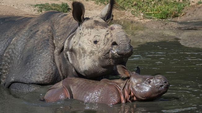 Greater One-Horned Rhino Calf Explores Exhibit with Mom at San Diego Zoo Safari Park