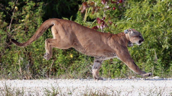 Record Number of Florida Panthers Died in 2015