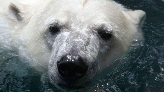 Polar Bears Trap Meteorologists in Russia