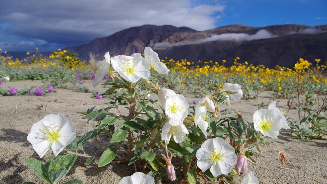 Seeking Super Bloom Snapshots: Anza-Borrego Foundation Launches Photo Contest