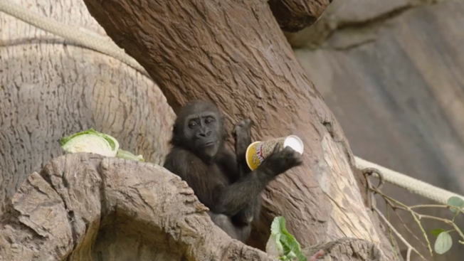 San Diego Zoo Safari Park's 'Miracle Baby' Gorilla Turns 2