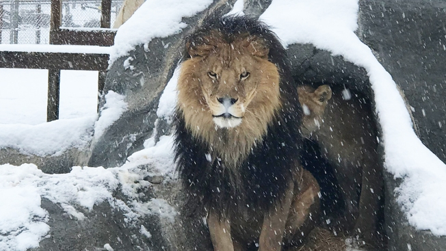 Snow Day for Big Cat Sanctuary Outside San Diego
