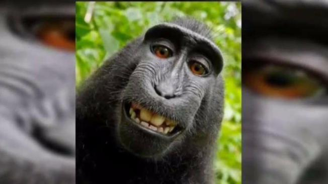 Monkey-selfie copyright lawsuit returns to court