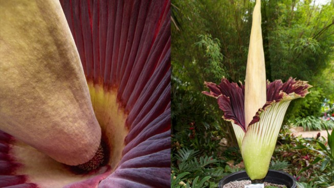 Stinky 'Corpse Flower' Spreads its Fragrant Bloom at San Diego Botanic Garden