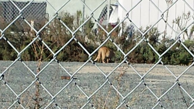 Mountain Lion Sighting Reported in Lemon Grove
