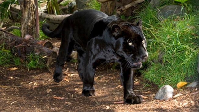 SD Zoo's Black Jaguar Dies