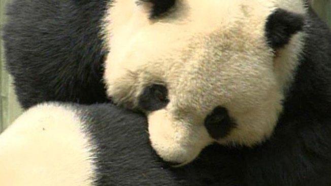 The Art of Panda Sutra