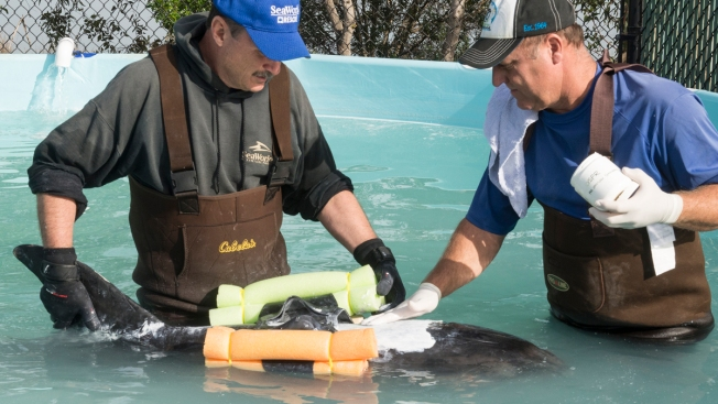 SeaWorld Takes in Dolphin Rescued in Long Beach