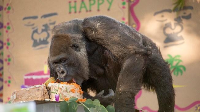 vila one of the world s oldest gorillas dies at 60 nbc 7 san diego