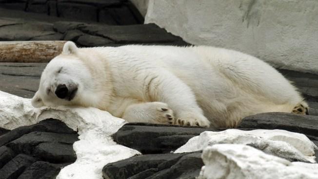 Dog Predicts Polar Bear Pregnancy