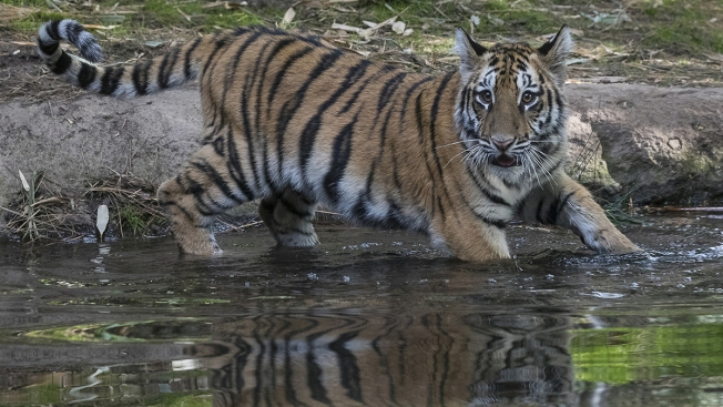 Smuggled Tiger Cub to Start New Chapter at 'Lions, Tigers and Bears' Sanctuary