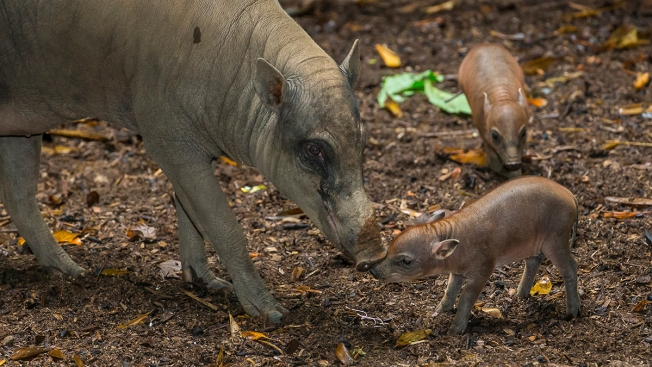 San Diego Zoo's Cutest Species Headed for Extinction