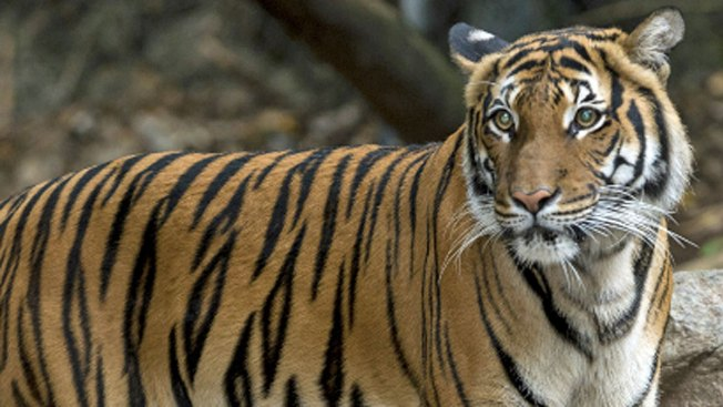 Tiger Mauled to Death During Mating Attempt