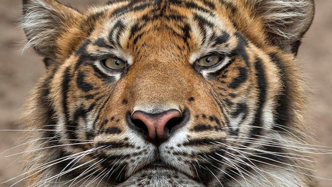 Wild Wake-Up: Breakfast With Tigers at San Diego Zoo Safari Park