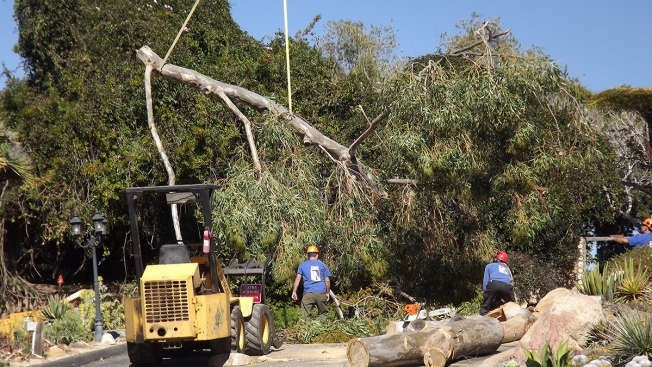 Storm Prompts Removal of One of Oldest Trees in San Diego Botanic Garden