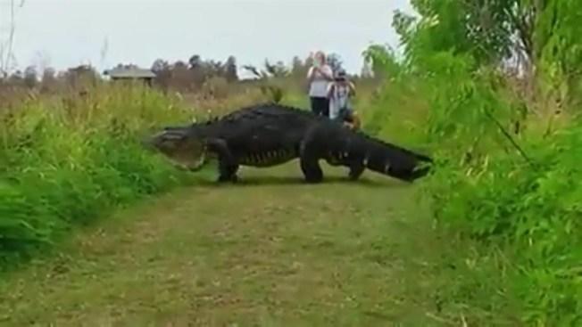 Massive Gator Spotted in Nature Preserve in Florida - NBC ...