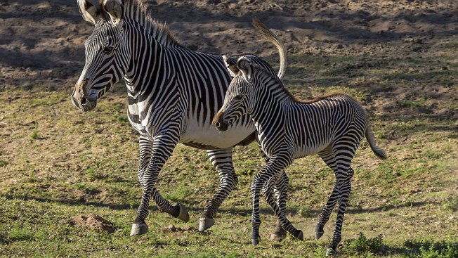 New Foal for Endangered Zebras at San Diego Safari Park