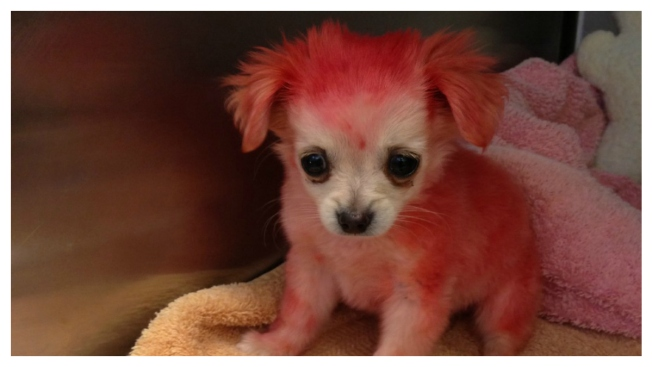 "Chihuahua Pup ""Candy"" Found Dyed in Pink, Broken Leg"