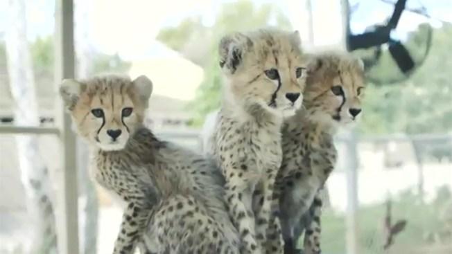 san diego zoo safari park announces names of 3 cheetah cubs decided