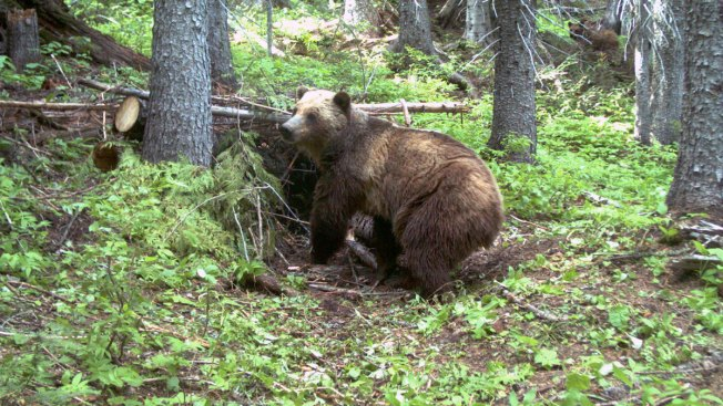 Bears Near US-Canada Border Merit Endangered Status: Judge