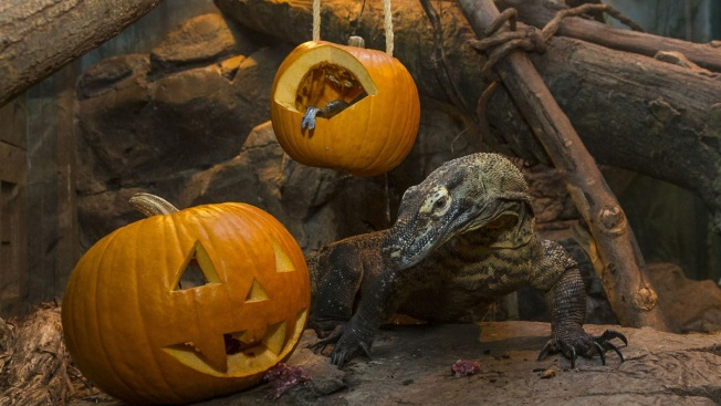 Zookeepers Carve Jack-o'-Lanterns for Komodo Dragon