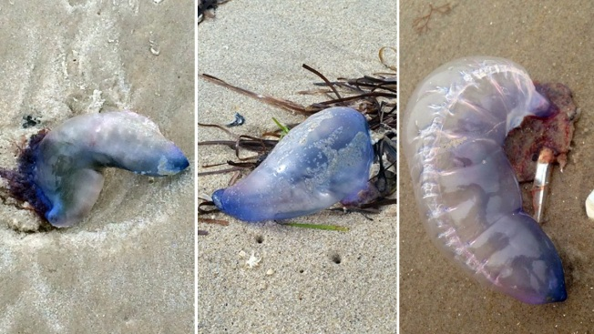 At Least 3 More Portuguese Man-of-Wars Spotted on NJ, NY Beaches