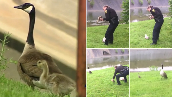 Mother Goose Leads Officer to Gosling in Distress