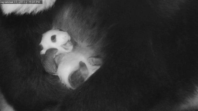 Panda Cam Goes Dark Due to Government Shutdown