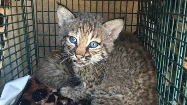 [NATL-DFW] Texans Mistake Bobcat Kittens for Domestic Kittens