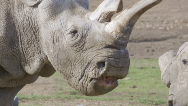 Northern White Rhino Reunites With Pals at San Diego Zoo Safari Park