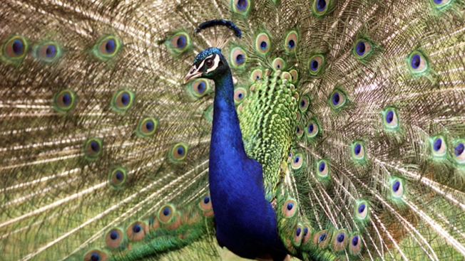 Pet Peacock Killed After Attacking Women