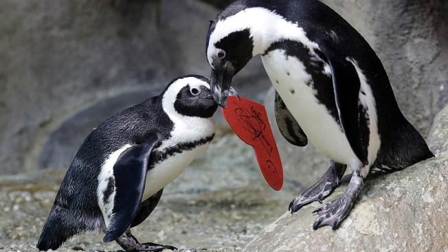 Love on the Rocks: Penguins Celebrating Valentine's Day